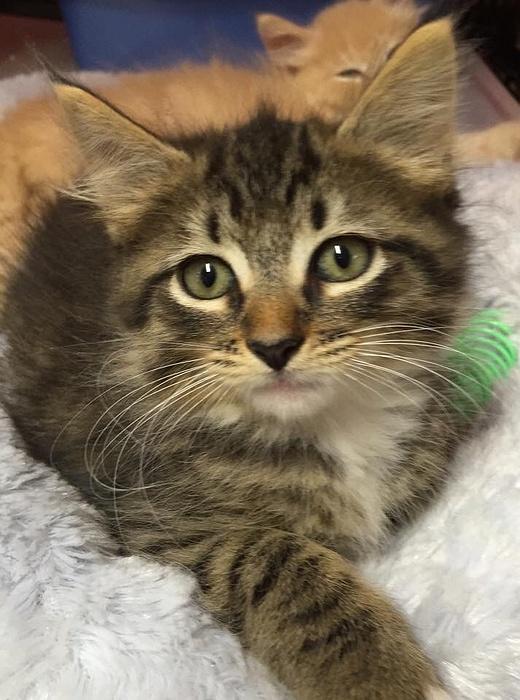 Massapequa Cat Adoption