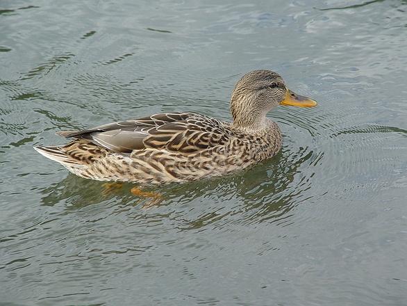Long Island Ducks Parking Fee