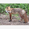 Red Foxes on Long Island